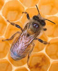 Honeybee (Photo courtesy National Human Genome Research Institute)