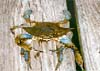 Blue Crab / photo courtesy Md. State Archives