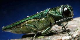 Emerald ash borer /